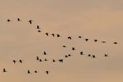 Kraanvogels_11